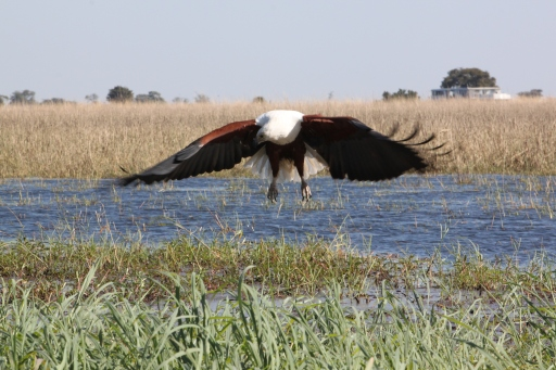 I'm not sure what this African Fish Eagle spied in the water, but I'm glad it wasn't me. He looks fierce.