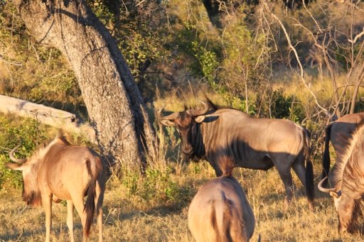 This wildebeest was not impressed with me at all.