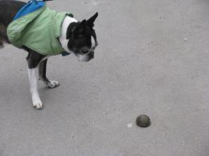 Miles found half of a tennis ball. He's a little confused but don't worry, he brought it home