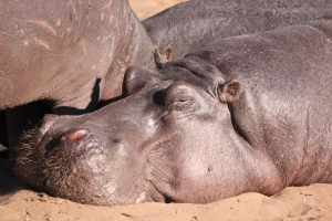 I feel like this hippo. Just too tired to move.