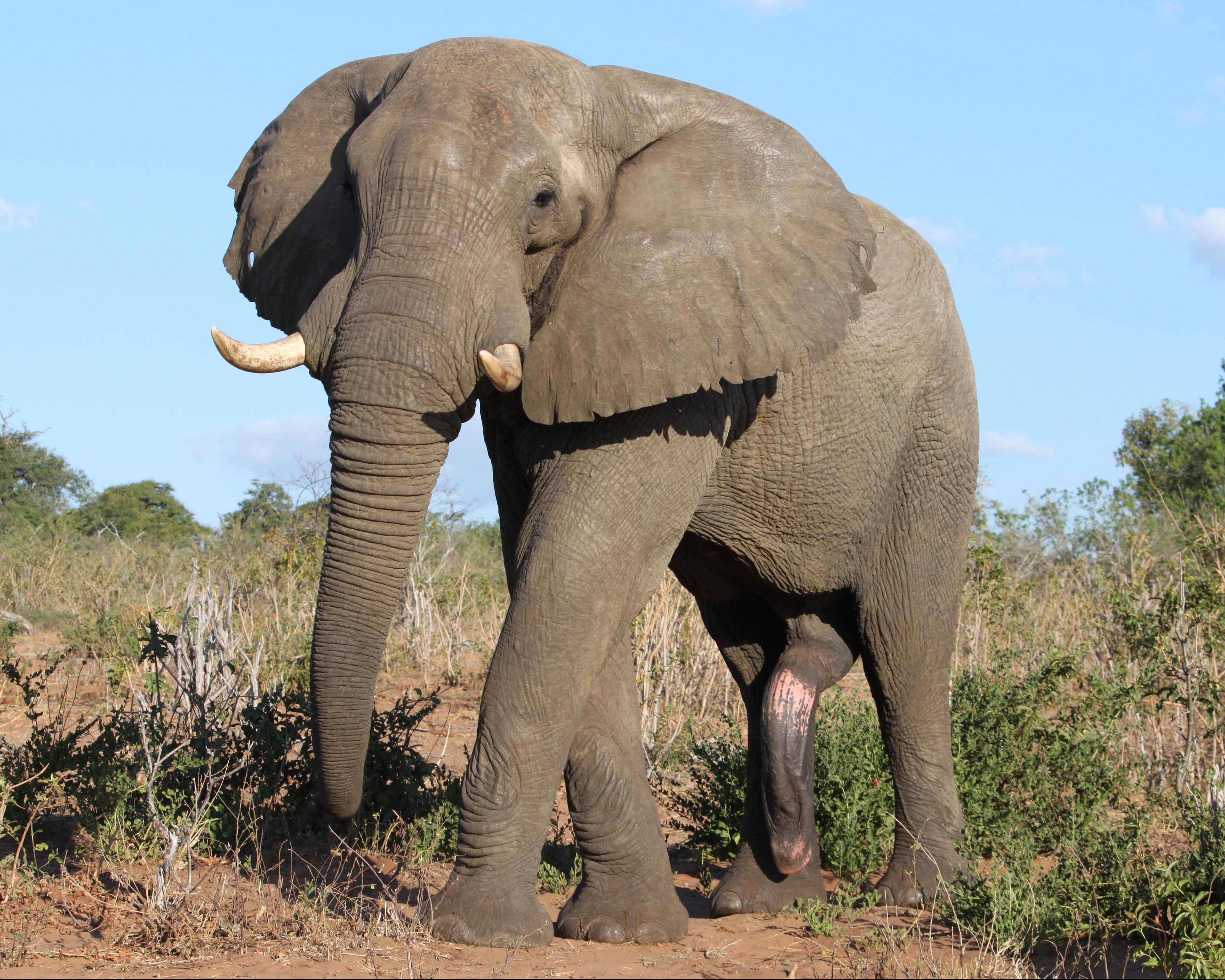 Male Elephant 5th Leg