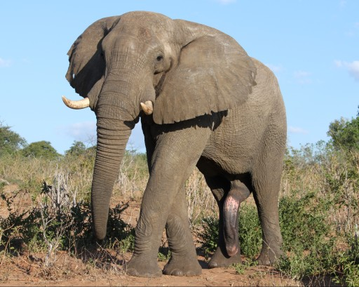 Um, does that elephant have five legs? Photo taken in Botswana.