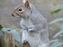 Squirrel in Holland Park