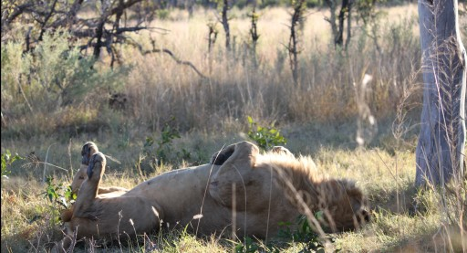 Even the king of the jungle needs his rest. Photo taken in Botswana
