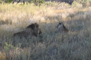Hey look, a male and female lion