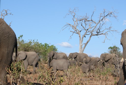 I was stunned when our jeep turned a corner in Chobe National Park and we saw all of these elephants.