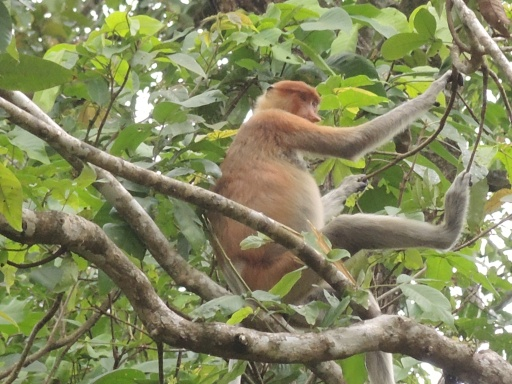 A proboscis monkey, called bekantan in Malay. I kept trying to get a good photo of his long nose, but as you can see he was bashful. Photo taken from the Kinabatangan River.