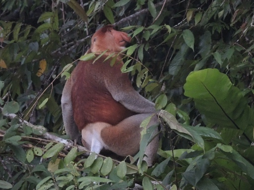 Another proboscis monkey with a more pronounced nose. Photo taken in Malaysia.