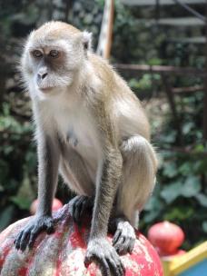 Monkey in Malaysia