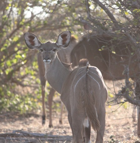 """Do my ears look big?"" A female kudu in Chobe National Park, Botswana."