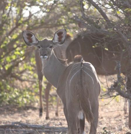 """""""Do my ears look big?"""" A female kudu in Chobe National Park, Botswana."""
