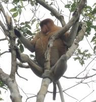 Proboscis monkey in Malaysia.