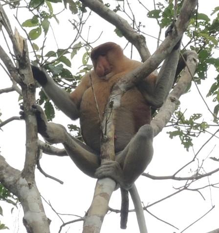 """""""How do I get down?"""" Proboscis monkey in Malaysia."""