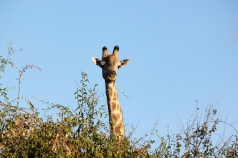 Giraffe in Chobe National Park, Botswana.