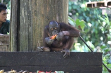 Orangutan in Malaysia
