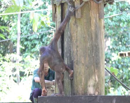 """Whatcha doing?"" More orangutan photos from Sepilok Orangutan Rehabilitation Centre"